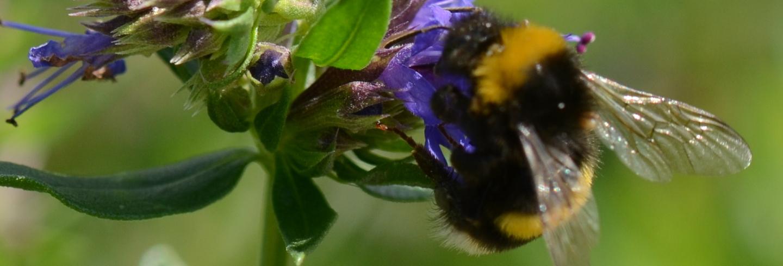 Nederland Zoemt in actie voor de wilde bijen
